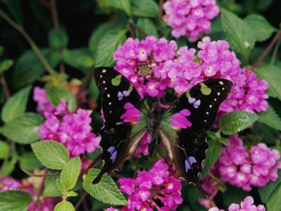A Purple Passion Butterfly Lands on Pink Flowers