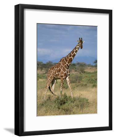 A Reticulated Giraffe on a Samburu Savanna