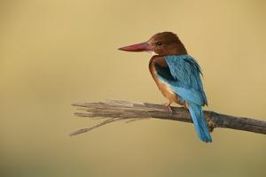 A White-Breasted Kingfisher Perches on a Branch by Roy Toft