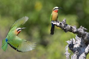 A White-Fronted Bee-Eater in Flight in Front of Perched Bee-Eater by Roy Toft