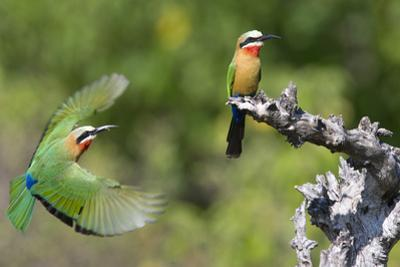 A White-Fronted Bee-Eater in Flight in Front of Perched Bee-Eater