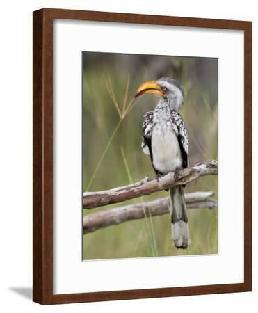 A Yellow-Billed Hornbill Perched on a Branch