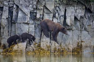 Adult Brown Bear, Ursus Arctos, with Juvenile Cubs by Roy Toft