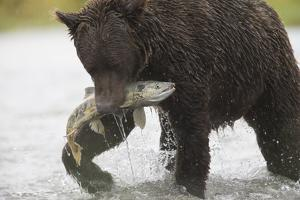 Adult Brown Bear, Ursus Arctos, with Salmon by Roy Toft