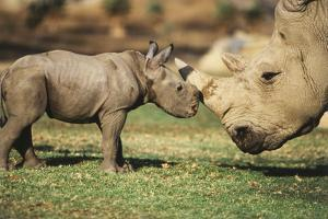Africa, Captive Southern White Rhino with Young by Roy Toft
