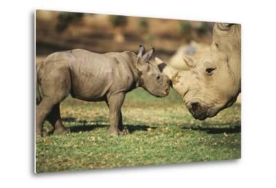 Africa, Captive Southern White Rhino with Young