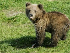 Alaskan Brown Bear, Baby Bear Sticking Tongue Out, Alaska by Roy Toft