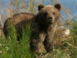 Alaskan Brown Bear Cub (Ursus Arctos) Standing in Grass by Roy Toft