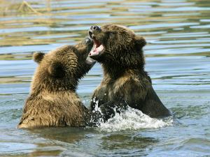 Alaskan Brown Bear, Two Bears Fighting in Water, Alaska by Roy Toft
