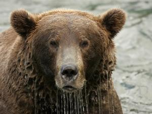 Alaskan Brown Bear (Ursus Arctos) in Water, Water Dripping from Face by Roy Toft