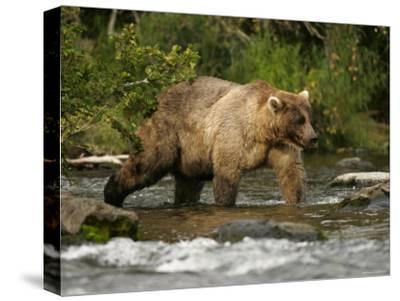 Alaskan Brown Bear (Ursus Arctos) Walking in River and Fishing