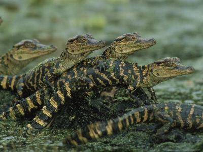 American Alligator Babies on Log, Texas