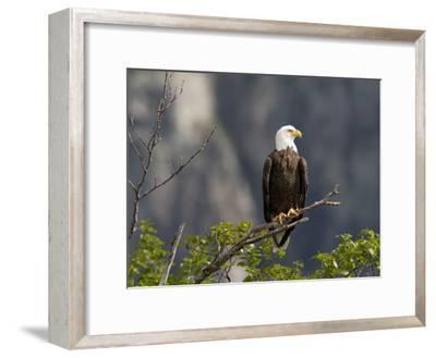 American Bald Eagle, Haliaeetus Leucocephalus, Perched on a Limb