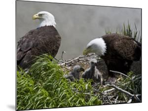 American Bald Eagles, Haliaeetus Leucocephalus, in Nest with Young by Roy Toft