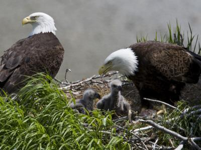 American Bald Eagles, Haliaeetus Leucocephalus, in Nest with Young