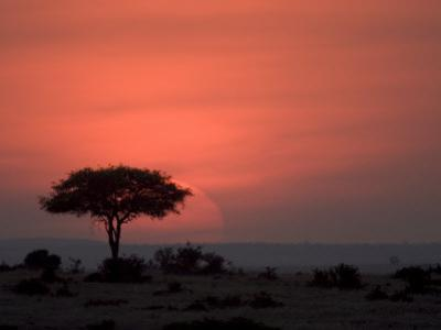 An Acacia Tree in the Masai Mara Silhouetted by the Setting Sun