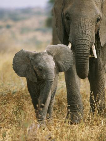 An African Elephant Walks with it Young