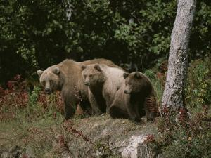 An Alaskan Brown Bear and Her Cubs at the Edge of a Wood by Roy Toft