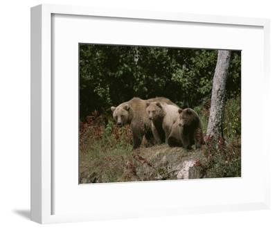 An Alaskan Brown Bear and Her Cubs at the Edge of a Wood