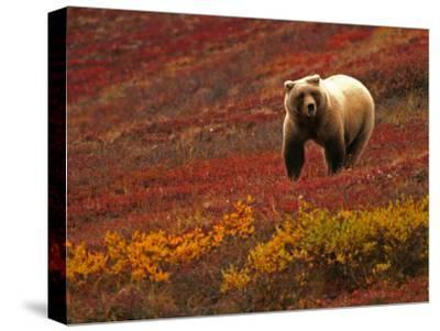 An Alaskan Brown Bear Standing on a Tundra with Fall Foliage (Ursus Arctos)