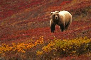 An Alaskan Brown Bear Standing on a Tundra with Fall Foliage by Roy Toft