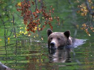 An Alaskan Brown Bear Swims in a River with an Overhang of Fall Leaves (Ursus Arctos) by Roy Toft