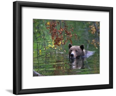 An Alaskan Brown Bear Swims in a River with an Overhang of Fall Leaves (Ursus Arctos)