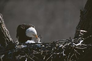 An American Bald Eagle Feeds its Chick by Roy Toft