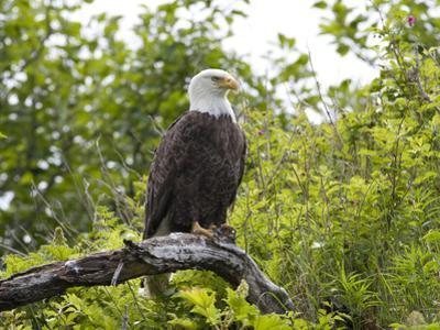 An American Bald Eagle, Haliaeetus Leucocephalus, Perched in a Tree
