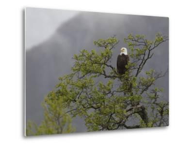 An American Bald Eagle, Haliaeetus Leucocephalus, Perched in a Tree