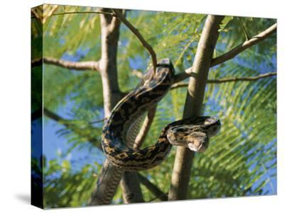 An Amythystine Python Slithers Through the Tree Branches