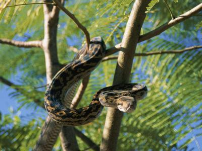 An Amythystine Python Slithers Through the Tree Branches by Roy Toft