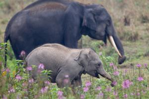 An Asian Elephant, Elephas Maximus, and a Calf Walking Among Wildflowers by Roy Toft
