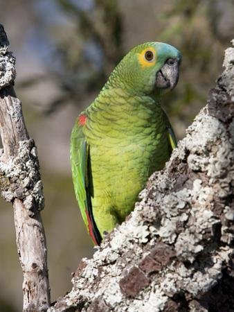 Blue-Fronted Amazon Parrot, Amazona Aestiva, Perched in a Tree