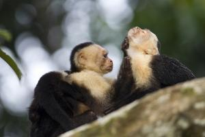 Brown Capuchin Monkeys Groom Each Other by Roy Toft