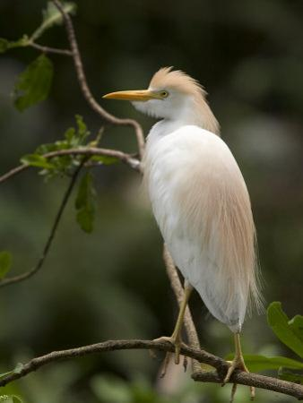 Cattle Egret Perched on Branch