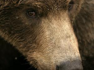 Close-up of Alaskan Brown Bear Face (Ursus Arctos) by Roy Toft