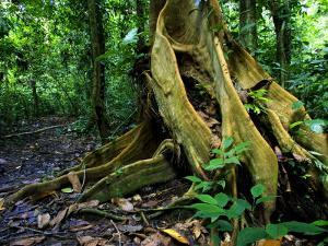 Close-up of Base of Tree with Roots in Rainforest, Costa Rica by Roy Toft