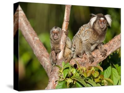 Common Marmoset and Juvenile, Callithrix Jacchus, Resting in a Tree