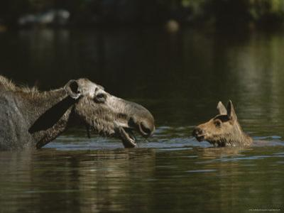 Female Moose and Her Calf in a Maine Lake