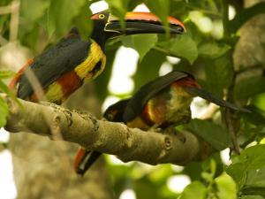 Fiery-Billed Aracari, Two Aracaris on Branch of Tree, Costa Rica by Roy Toft