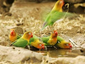 Fishers Lovebirds, Tanzania, Africa by Roy Toft