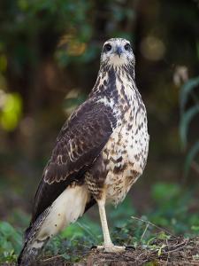 Great Black Hawk, Buteogallus Urubitinga by Roy Toft