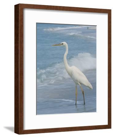 Great Blue Heron, White Morph, Florida