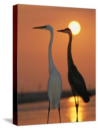 Great Egret, Egretta Alba, in Front with Blue Heron at Sunset