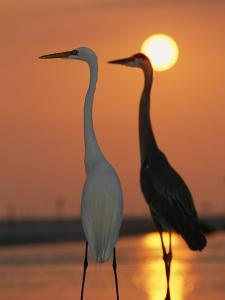 Great Egret, Egretta Alba, in Front with Blue Heron at Sunset by Roy Toft