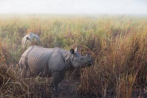 Greater One-Horned Rhinoceroses, Rhinoceros Unicornis, in Tall Grasses in the Fog by Roy Toft