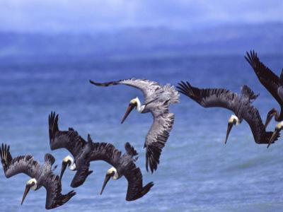 Group of Brown Pelicans (Pelecanus Occidentalis) Diving into Water