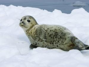 Harbor Seal, Young Seal Lying in Snow, Japan by Roy Toft