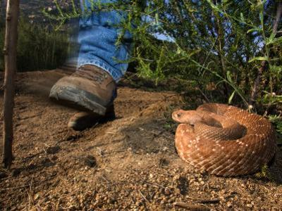 Hiker's Foot Passing a Large Coiled Red Diamondback Rattlesnake